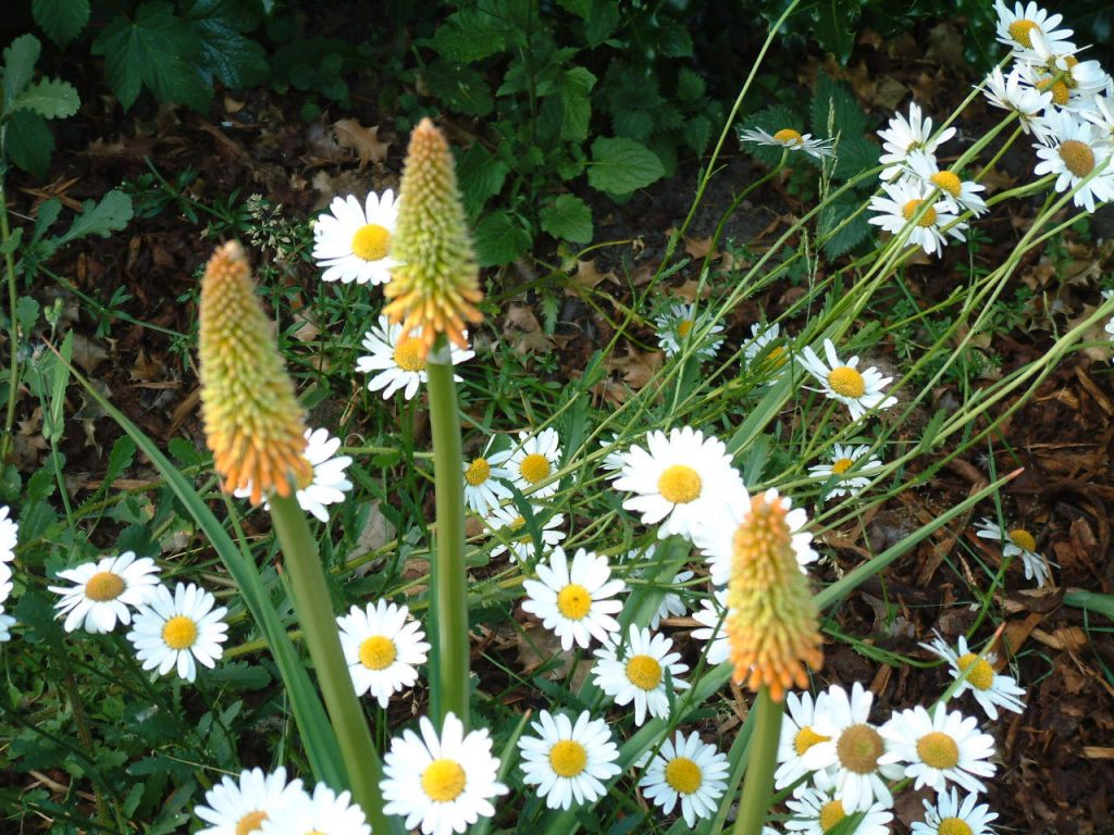 Picture of some Red Hot Pokers and daisies